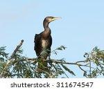 great cormorant  phalacrocorax... | Shutterstock . vector #311674547