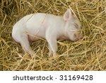 Piglet  Sus Scrofa Domesticus ...