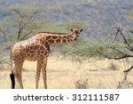 Giraffe In The Wild. Africa ...