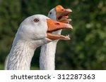 Domestic Goose Call Open Mouth