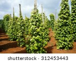 Small photo of Pepper field at Gia Lai, Viet Nam, group of pepper plant in green, this farm product is export product from Vietnam to Asia, vegetable growing in bush, and plant in many aea as Binh Phuoc, Daklak