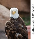 Small photo of A portrait of an American eagle at a zoo.