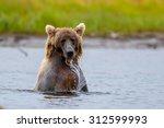 Grizzly Bear Splashing To Catc...