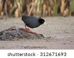 Small photo of Black crake, Amaurornis flavirostr, single bird by water, South Africa, August 2015