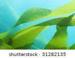 Giant Kelp  Macrocystis...