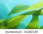 Giant Kelp  Macrocystis...