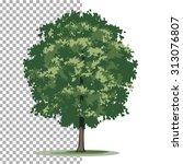 bur oak tree. isolated vector...   Shutterstock .eps vector #313076807