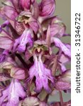 Small photo of closeup of a giant orchid (Barlia robertianum)