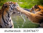 Two Adult Tigers At Play In Th...