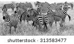Big Herd Of Zebra's In Black...
