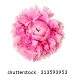pink peony head isolated on... | Shutterstock . vector #313593953