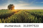 wheat field at sunset | Shutterstock . vector #313597523