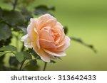 Beautiful Pale Rose Bud Blossom