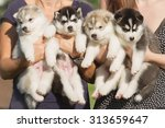Stock photo four puppies siberian husky litter dogs in the hands of the breeder little puppies 313659647