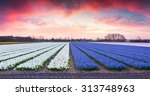fields of blooming hyacinth... | Shutterstock . vector #313748963