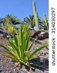 Small photo of Agave americana (aurea-marginata) in the beautiful tropical cactus garden, Gran Canaria. Spain