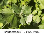 Small photo of American Sycamore Tree Leaves / American Sycamore Tree Leaves / American Sycamore Tree Leaves /