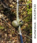 Small photo of Oak Bullet Gall - Abnormal Growth / Oak Bullet Gall - Abnormal Growth / Oak Bullet Gall - Abnormal Growth /