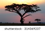 Silhouette Of African Acacia...
