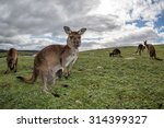 Kangaroos While Looking At You...