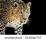 Close Up Wild Leopard On The...