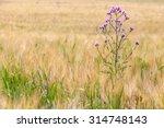 Weeds In The Fields Of Grain...