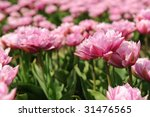 Pink Double Tulips In The...