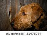 Airedale Terrier Dog Peering...