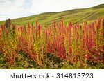 quinoa plantations in... | Shutterstock . vector #314813723