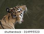 Yawning Bengal Adult Tiger