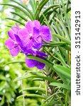 Small photo of Purple vanda orchid in garden.
