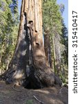 sequoia in sequoia national... | Shutterstock . vector #315410417
