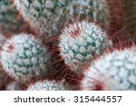 Red Spine Cactus Close Up