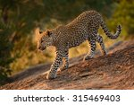 leopard cub walking down rocks... | Shutterstock . vector #315469403