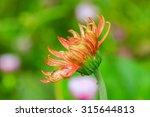 gerbera flowers  background... | Shutterstock . vector #315644813