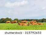 Typical Limousin Cows In The...