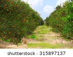 rows of florida orange trees in ... | Shutterstock . vector #315897137