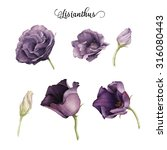 lisianthus  watercolor  can be... | Shutterstock . vector #316080443