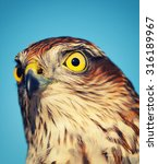 Small photo of Birds of Europe - Sparrow-hawk (Accipiter nisus), retro style effect