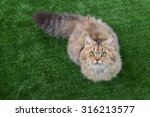 Cute Tabby Cat Lying On Green...