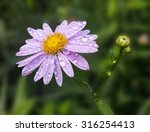 Wild Chrysanthemum With Raindrop