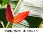 Orange Flowering Banana  Musa...