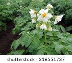 Macro Photo Of Blooming Potato...