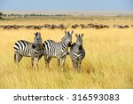 Zebra On Grassland In Africa ...