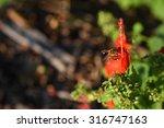 red turk's cap flower is... | Shutterstock . vector #316747163