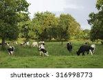 A Herd Of Dairy Cattle Graze I...