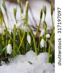 Group Of Snowdrop Flowers ...