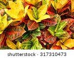 Colorful Croton Leaves...