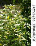 Small photo of bush of lemon verbena plant or Aloysia citrodora bush in aromatic gardens in natural sunny daylight