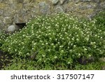 Small photo of Water-cress - Rorippa nasturtium-aquaticum Mass of plants by spring